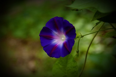 ECF - Morning Glories