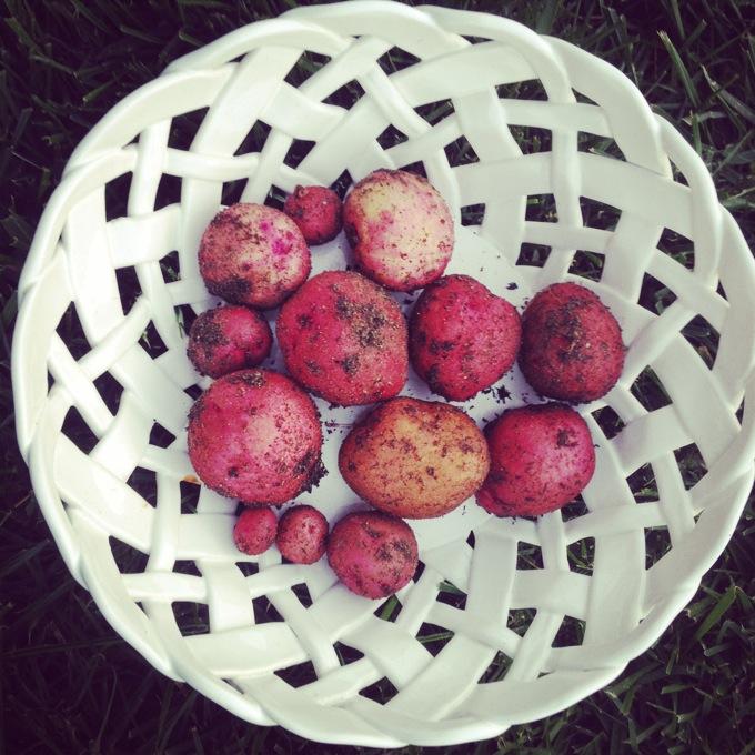 Fresh picked potatoes