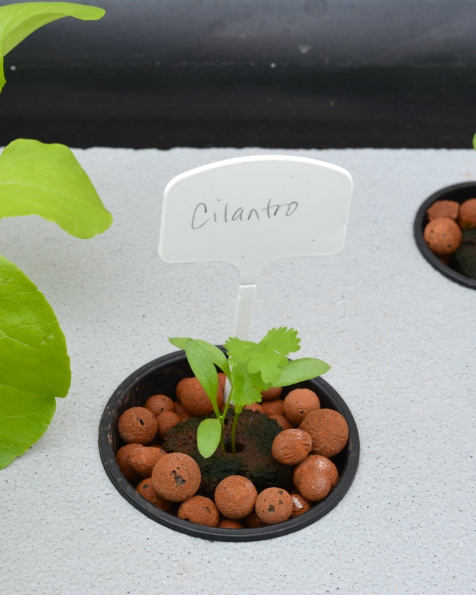 Growing Cilantro in an Aquaponic Garden