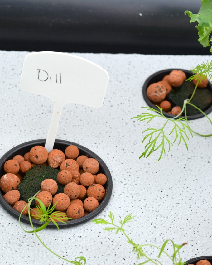Growing Dill in an Aquaponic Garden