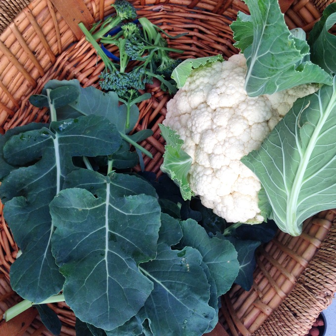 Homegrown cauliflower, broccoli leaves and broccoli
