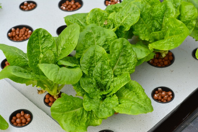 Lettuce in an aquaponic garden raft bed