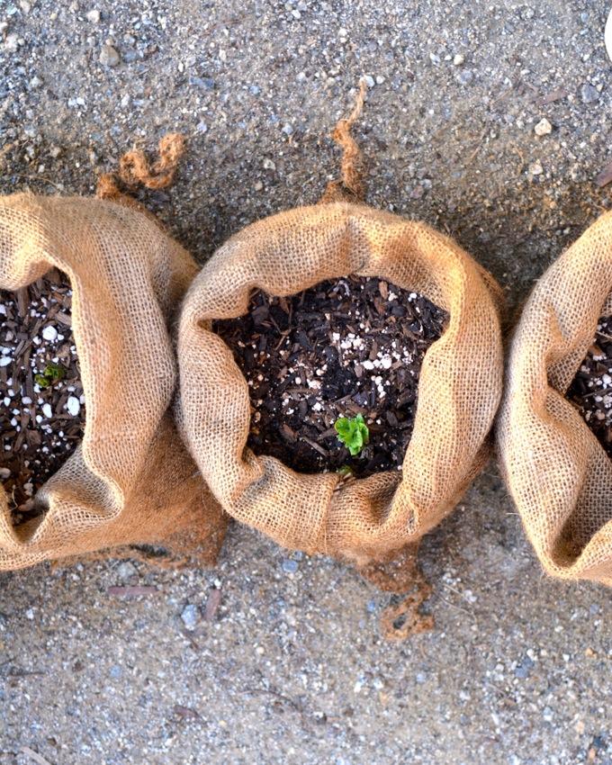 Planting potatoes in burlap sacks