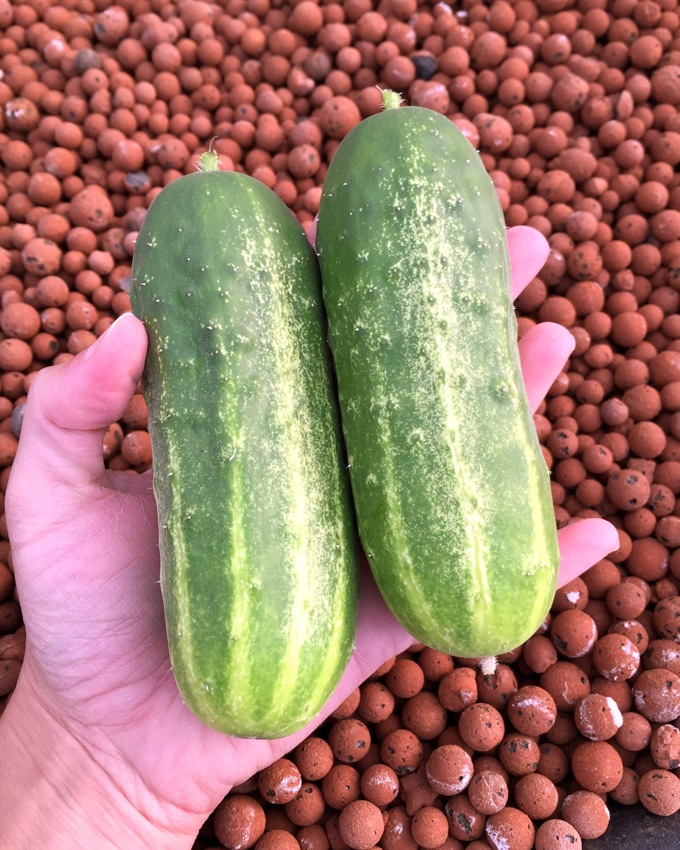 Growing cucumbers in an aquaponic garden