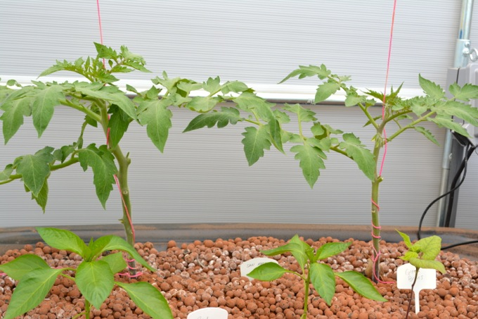 Growing tomatoes aquaponically