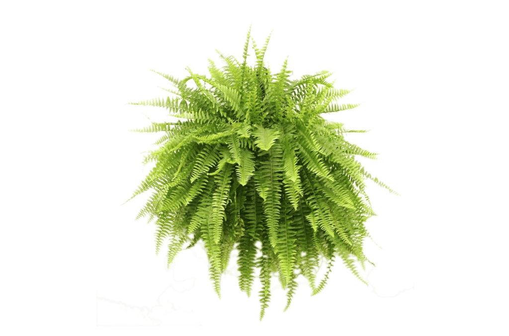 10 Non Toxic Houseplants That Won't Kill Pretty Kitty | Boston Fern | Common House Plants | Jessica Brigham | Magazine Ready for Life