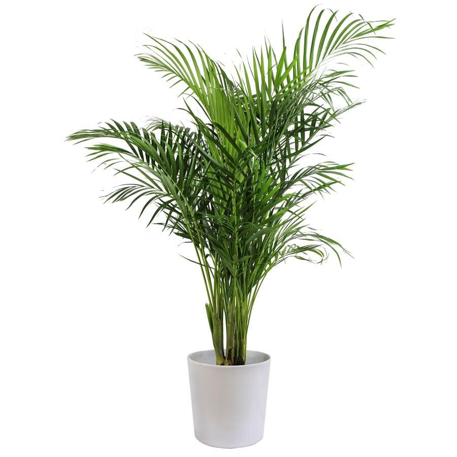 10 Non Toxic Houseplants That Won't Kill Pretty Kitty   Majesty Palm   Common House Plants   Jessica Brigham   Magazine Ready for Life
