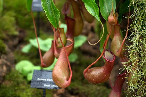 10 Non Toxic Houseplants That Won't Kill Pretty Kitty   Pitcher Plant   Common House Plants   Jessica Brigham   Magazine Ready for Life