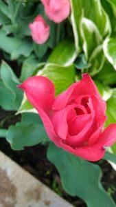 Gardener Life Tulip