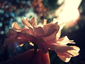 pink petal macro cross watermarked