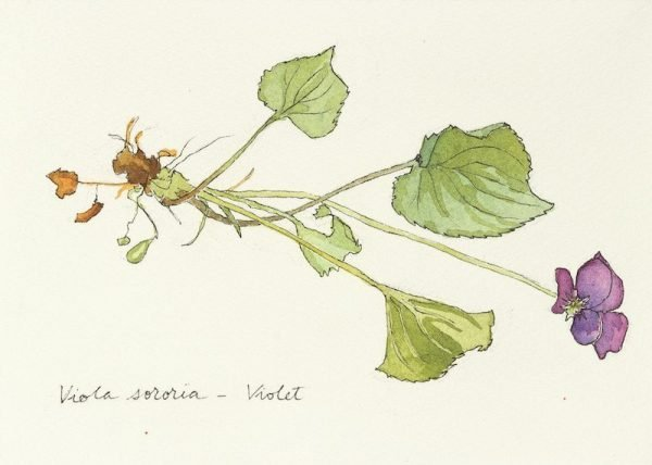violet botanical drawing