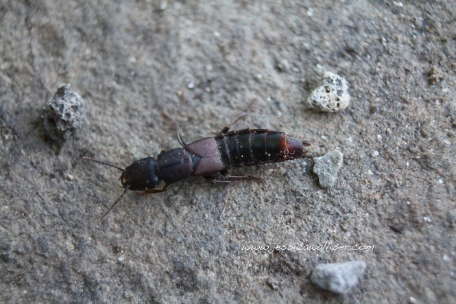 Large Ant Like Blue Black Beetle Meloe Species Impressus Female