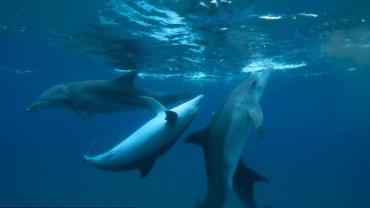 Pif-Paf! Nastoletnie delfiny kontra nerwowe rybki!