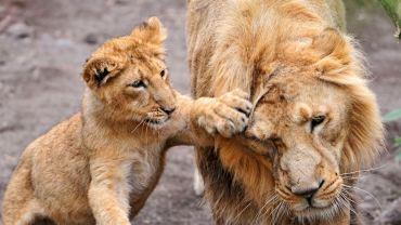 Zwierzęta szturchają się czule... jakie to słodkie!