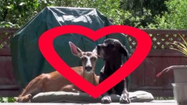 Jeleń i pies jako najlepsi przyjaciele?! Zobacz jak się bawią!