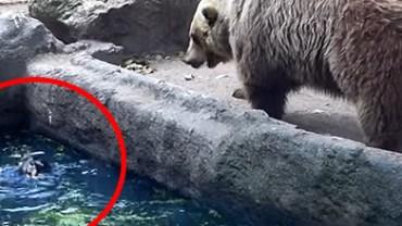 Niedźwiedzica zobaczyła tonącego w wodzie kruka... Zobacz, co z tego wynikło