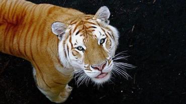 """Niby zwykły tygrys… ale coś jest nie tak. Poznajcie tygrysy """"Golden Tabby""""!"""