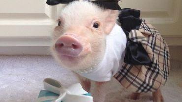 Ta świnka ma lepsze ciuchy niż niejedna z nas!