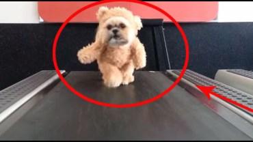 Pies przebierany za misia przemieszcza się na bieżni. Na pewno się uśmiechniesz!