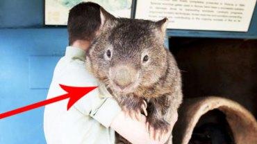 Poznajcie Patricka – najstarszego, a zarazem najsłodszego wombata na świecie!