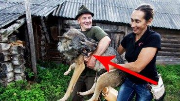 Zamiast psów mają wilki!  Zobacz, jak wygląda życie z tymi dzikimi zwierzętami!
