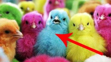 Wiedzieliście, że istnieją kolorowe kurczaki? Nie? To zobaczcie! Do wyboru, do koloru!