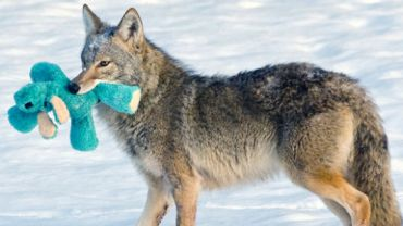 Pewnego dnia do jej ogródka zawędrował dziki kojot. To, co stało się później zaskoczyło wszystkich.