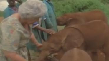 Reakcja osieroconych słoniątek na spotkanie z tą kobietą doprowadza do łez!
