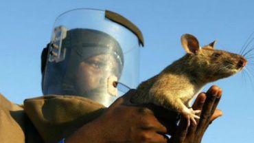 Te niezwykłe szczury są prawdziwymi bohaterami. Codziennie ratują życie setkom ludzi!
