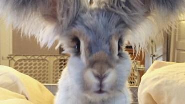Poznajcie Welly - królika, który podbija internet. Uważajcie, bo gdy go raz zobaczycie - będziecie chcieć takiego samego!