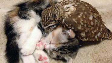 Ciężko w to uwierzyć, ale ta sowa i ten kot są nierozłączni! Zobaczcie nietypową przyjaźń, która podbiła internet!
