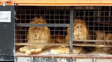 Gdy prawo zakazało ich wykorzystywania, właściciele porzucili lwy w ciasnej klatce na pewną śmierć!