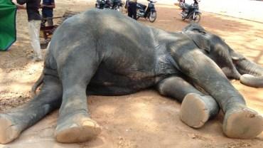 To zdjęcie rozpętało burzę w sieci. Słoń zmarł z wyczerpania, dźwigając turystów!
