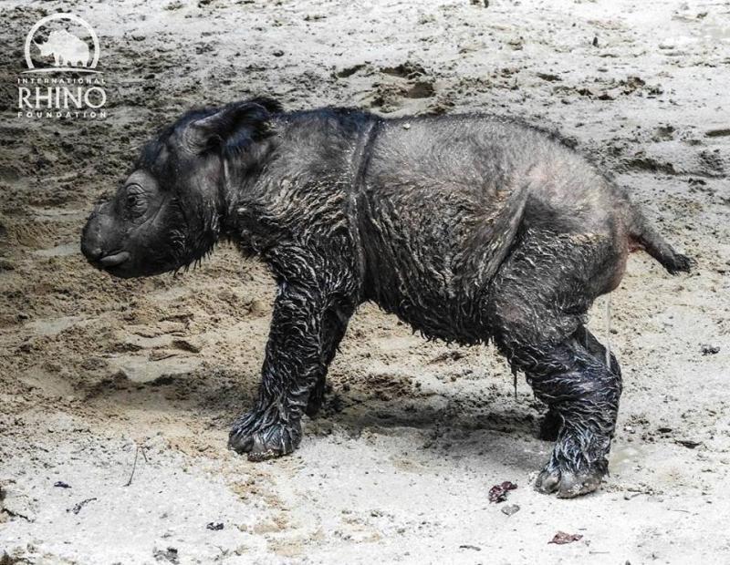 sumatran-rhinoceros-2