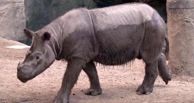 sumatran-rhinoceros-p