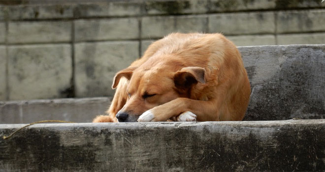 dogs-from-quilpue-p