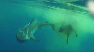 Grupa turystów pływająca po Oceanie Indyjskim natknęła się na bardzo dziwną scenę, jak rekin pożerał… krowę!