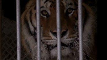 Kampania Cyrk Bez Zwierząt uświadamia, jakim dramatem jest trzymanie dzikich stworzeń w niewoli. Prezentowane materiały wstrząsną Wami