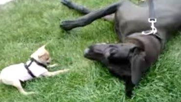 Mały chihuahua chce się bawić z ogromnym dogiem. Efekt jego starań jest przekomiczny