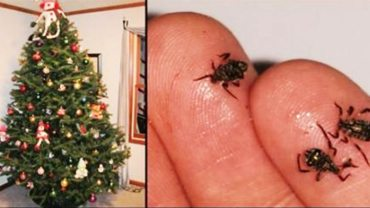 Kupując bożonarodzeniowe drzewko, dokładnie je obejrzyj! Wraz z nim możesz przynieść do domu coś jeszcze…