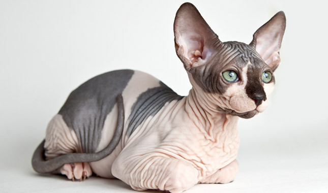 She was sure that she had bought a Sphynx cat. When he brought it to a vet she found out the terrible truth about the animal! 2
