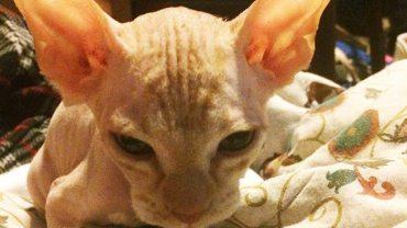 Była przekonana, że kupiła kota sfinksa. Gdy zaniosła go do weterynarza, dowiedziała się przerażającej prawdy na jego temat!
