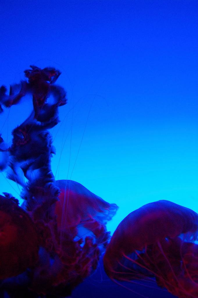 Naukowcy potwierdzają: ta meduza jest biologicznie nieśmiertelna! Czy rozwikłanie jej tajemnicy pomoże ludziom żyć wiecznie?