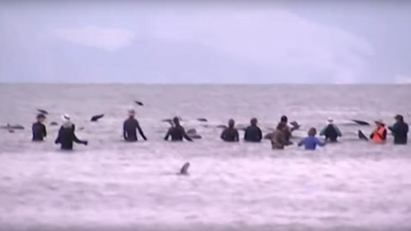 Takiej katastrofy nie widziano nigdy wcześniej. Setki wielorybów wypłynęło na plażę, dzięki wolontariuszom udało się część uratować