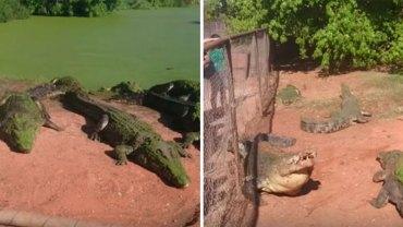 Goście ZOO podczas karmienia krokodyli zobaczyli brutalną scenę, jakiej kompletnie nie spodziewali się ujrzeć…