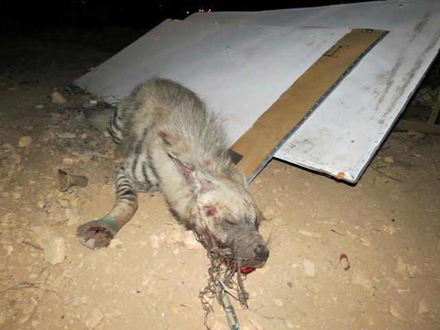 Uratowali groźną bestię przetrzymywaną w niewoli. Gdy weterynarze zajrzeli jej do paszczy, załamali się tym widokiem!