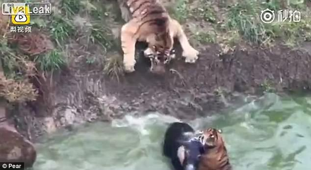 These zoo tigers were bored so they were entertained with a living donkey. The poor thing had no chance! 2