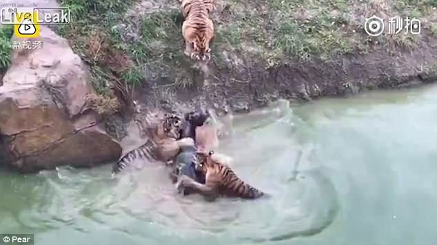 These zoo tigers were bored so they were entertained with a living donkey. The poor thing had no chance! 4