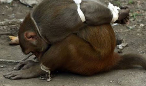 The hungry monkey stole a few fruits from the market stall, but the punishment the people gave her was very cruel. 4