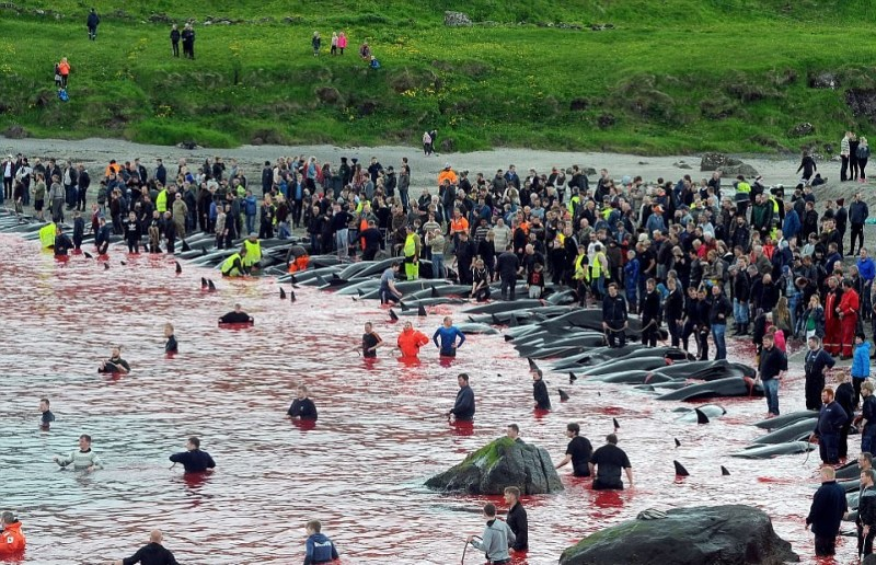 The Faroe Islands will soon run out of blood again. Such a monstrous slaughter you would not see anywhere else! 3